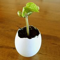 Starting seedlings in egg shells. You could just crack and plant the whole thing.