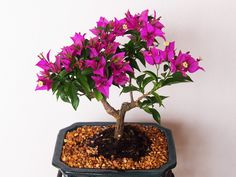 Bougainvillea Bonsai Tree Care Guide (Bougainvillea glabra) Source by . Ficus Bonsai Tree, Flowering Bonsai Tree, Pre Bonsai, Bonsai Tree Care, Bonsai Tree Types, Indoor Bonsai Tree, Bonsai Plants, Flowering Plants, Cactus Plants