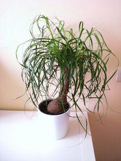 decoratica - my ponytail palm // mi pata de elefante