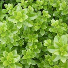 Evergreen Shrubs, Trees And Shrubs, Trees To Plant, Hedges, Townhouse Landscaping, Privacy Trees, Small Shrubs, Specimen Trees, Foundation Planting