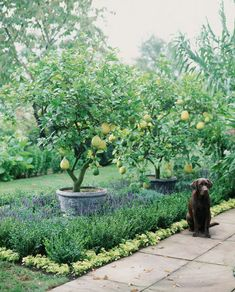 lemon trees underplanted with lavender Fruit Trees Uk, Potted Fruit Trees, Fruit Trees In Containers, Planting Fruit Trees, Espalier Fruit Trees, Fruit Tree Garden, Dwarf Fruit Trees, Citrus Garden, Citrus Trees