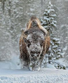 I'm a majestic Buffalo, not your dinner.