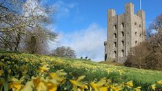 A view of just some of the bright yellow daffodils and the Keep at Penrhyn Castle near Bangor, Wales