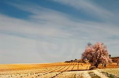 Spanish landscape with vineyard meadow and a flowering almond tree