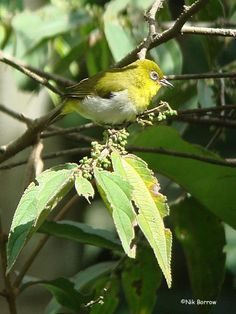 New Guinea White-eye