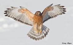 Red-shouldered Hawk - Flickr - Photo Sharing!