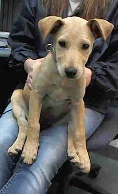 SAFE --- KANGAROOO (A1670486) I am a female cream and white Terrier mix.  The shelter staff think I am about 14 weeks old.  I was found as a stray and I may be available for adoption on 01/05/2015. — Miami Dade County Animal Services. https://www.facebook.com/urgentdogsofmiami/photos/pb.191859757515102.-2207520000.1420573172./903199526381118/?type=3&theater