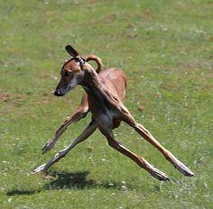 Graceful like a gazelle: From Daniela van der Lichte's Facebook - an incredible photo showing the flexibility of sighthounds while maneuvering.