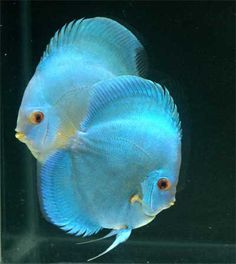Discus fish for sale. High quailty and hormone free discus fish at affordable prices shipped to your door. Underwater Creatures, Underwater Life, Ocean Creatures, Colorful Fish, Tropical Fish, Acara Disco, Discus Fish, Discus Tank, Fish Fish
