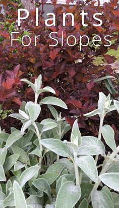 Two great plants for slopes. Coppertina Ninebark has coppery leaves. Lambs Ear is a beautiful contrast, so use them together. The Lambs Ear will also become a semi ground cover.