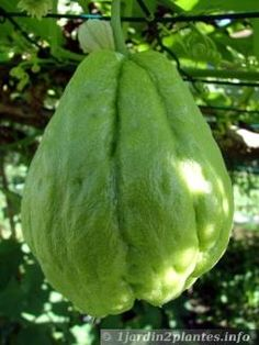 Chayote: le fruit d'une plante grimpante. Jardin Decor, Permaculture Design, Healthy Environment, Small Farm, Balcony Garden, Horticulture, Vegetable Garden, Mother Nature, Succulents