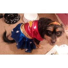 Look at this little wonder pup! Such a cutie! Pet Costumes, Funny Halloween Costumes, Animals Beautiful, Cute Animals, Dog Food, Mans Best Friend, Playing Dress Up, Small Dogs, Animal Pictures