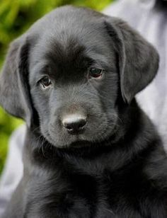 black labs ❤ it looks like my puppy when she was a baby by claudia