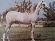 *Mazin (Ezz El Arab x Nahid, by Sid Abouhom) #95676 Lancer Arabians  AHN Mag. 4/75