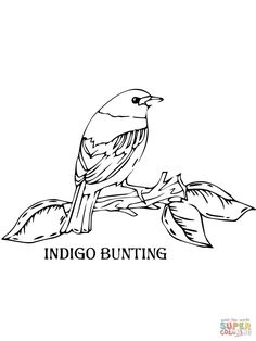 Indigo Bunting Coloring Page Free Printable Pages