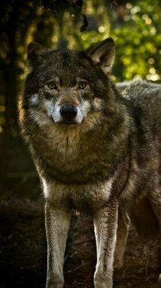 Image of: Images Google Dieren Chakras Eenzame Wolf Wolven Gratis Todo 40 Beste Afbeeldingen Van Animal Wallpapers Animal Wallpaper