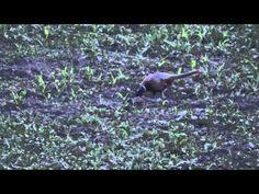 Pheasant - Video 2 - YouTube