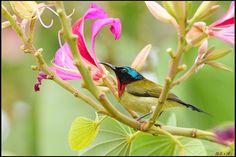 https://flic.kr/p/dK7qvN | 叉尾太陽鳥_公 Fork-tailed Sunbird | 最滿意的一張! 去倆次都遇到強風~很近~很漂亮的但卻都糊'的~