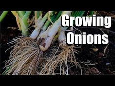3 Tips for Growing Onions & How to Start Onion Seeds Inside and Outside - YouTube