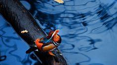 Cute Mandarin Duck