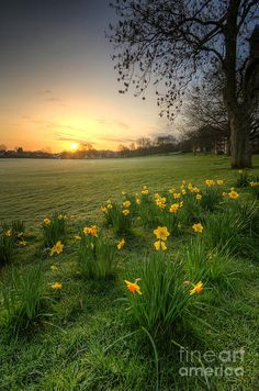 Derbyshire, England.   What a print.    Whadda print  to have!    http://fineartamerica.com/featured/daffodils-and-sunrise-at-the-park-yhun-suarez.html