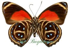 Nymphalidae : Callicore texa titania set 2 - The Bugmaniac INSECTS FOR SALE BUTTERFLIES FOR SALE INSECTS FOR SALE BUTTERFLIES FOR SALE BUTTERFLIES BY ECOZONE NEOTROPICAL ECOZONE NYMPHALIDAE