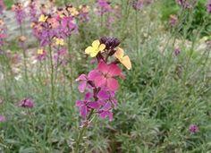 Cottage Garden Plants #4: Wallflowers  Aspect: Full/Part Sun Soil: Moist, Cool Height: 45 cm