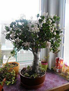 Crassula Ovata, Bonsai Art, Feng Shui, Container Gardening, Indoor Plants, Succulents, Floral, Flowers, Nature