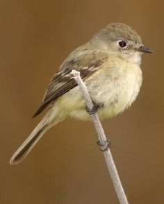 Hammond's Flycatcher - Whatbird.com
