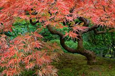Finally! Some Fall Colors at the Portland Japanese Garden - HDR by David Gn Photography, via Flickr
