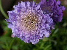 Purple scabiosa