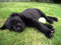 """Why doesn't anybody want me?"" -- Black Labs 1 by Alexandra F, via Flickr"