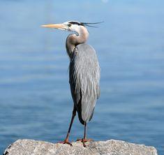 Great Blue Heron, Birds, Animal Messages, Totems, spirit-animals.com