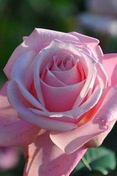 Срезанные Цветы, Красивые Сады, Кактус, Выращивание Роз, Гибридные Чайные Розы, Посадка Роз, Красивые Розы, Картины, Фотография