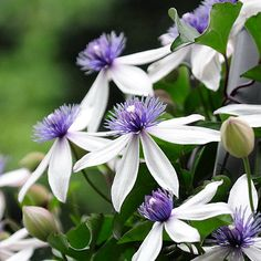 I only grow one Clematis. As an exchange for a defective Chilean Bellflower (Lapageria) lacking the normal coloration (all white), I was sent a couple rooted cuttings of Clematis akoensis. Clematis akoensis is presumably undesirable because of its bicolored flowers, which are scented unlike most mod...