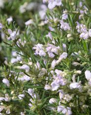 Chef's Choice® Rosemary Violet blue flowers in spring Evergreen  USDA Zones 6-11 Sunset Zones 	4-24 Special Features: Highest oil content for cooking, compact, drought tolerance, deer resistance Landscape Use:Border, container, mass planting, coastal, ground cover, kitchen gardens Full sun Bloom Season:Spring 12-18 in H x 12 in W