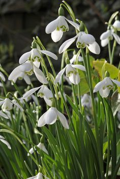 Spring bulbs - Galanthus nivalis. Although this is the common snowdrop, it is always a beautiful bloomer at the start of spring. Photo by Tim Sandall.