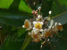 Sultan Champa-Calophyllum inophyllum-very fragrant white flowers.