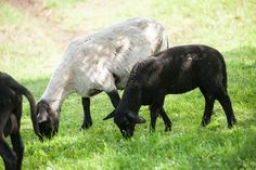 Schafe im Streichelzoo der Örglwirts Ferienwelt Animals, Petting Zoo, Playground, Sheep, Animales, Animaux, Animal, Animais