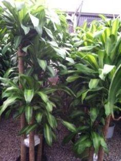 Dracaena Mass Cane (Corn Plant, Massangeana)