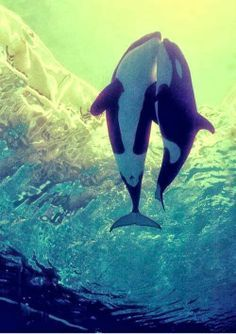 The Orca, or Killer Whale is a toothed whale and the largest member of the dolphin family. It is highly social ...