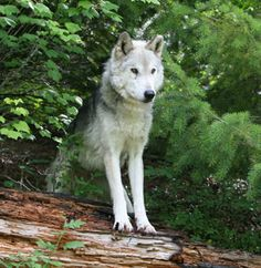 the wolf - one of the most beautiful animals