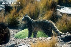 Andean cat sitting in shade