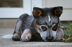 blue heeler!  i want this pup so bad. whatta a little bugger