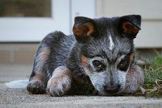 blue heeler puppy!