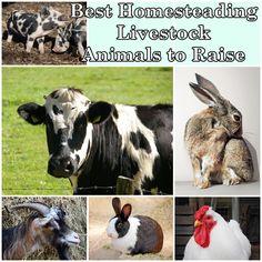 Best Homesteading Livestock Animals to Raise  Homesteading  - The Homestead Survival .Com