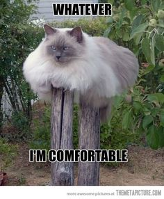 Whatever.....very very very large blue?point long-haired cat draped over two wooden posts