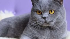 Here interesting facts about British Cat and Character | Cats Breeds  The British Shorthair is the pedigreed version of the traditional British domestic cat, with a distinctively chunky body, dense coat and broad face.