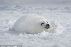 Cuylaerts said that the biggest threat against the seal population is humans