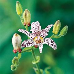Toad Lily. I think this would look so pretty in a pot in a shady corner of my apartment patio! And it would be super cool in my bouquet :)